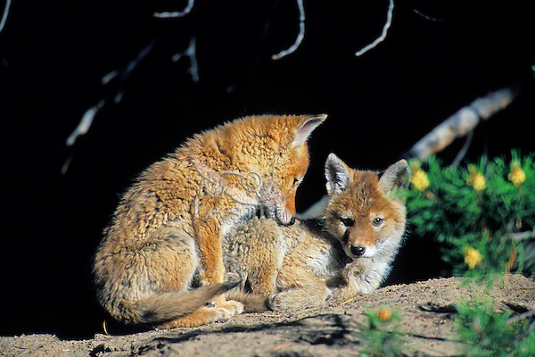 Two wild COYOTE pups wait near their den for an adult to return from hunting (sometimes waiting hours).  Western U.S., June.