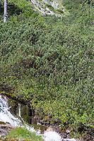 Bergkiefer, Berg-Kiefer, Latsche, Latschenkiefer, Bergföhre, Legföhre, Legkiefer, Krummholzkiefer, Krummholz-Kiefer, Kiefer, Krüppelkiefer, Pinus mugo, Pinus montana, mountain pine, dwarf mountain pine, scrub mountain pine, Swiss mountain pine, mugo pine, pine, Le pin mugo, le pin mugho, le pin couché, le pin de montagnes, Alpen, alp, alps, Gebirge, Berge