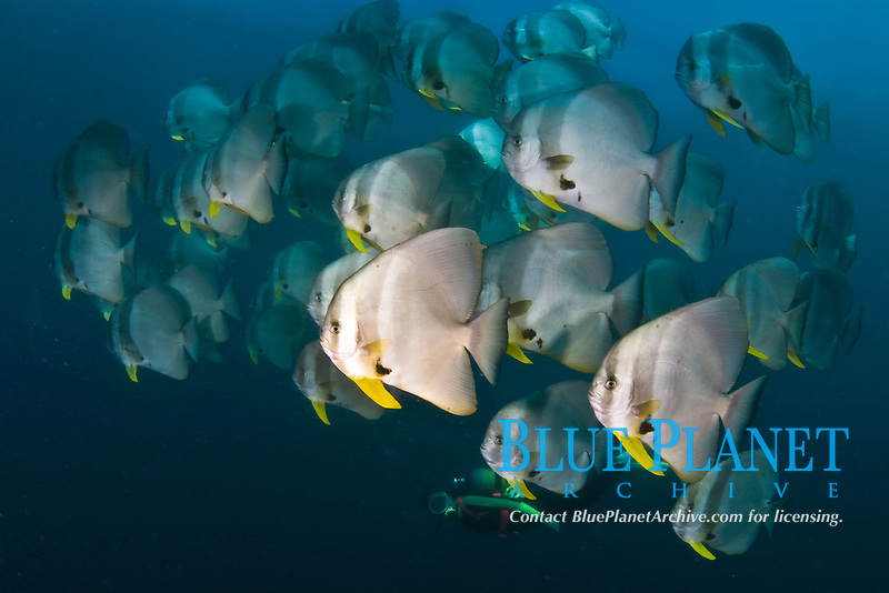 Diver with batfish school, Platax orbicularis, at Manta Reef near Tofo, Mozambique, Africa. The Tofo Bay aea of the Inhambane Peninsula in Mozambique is one of the world's richest marine life areas.