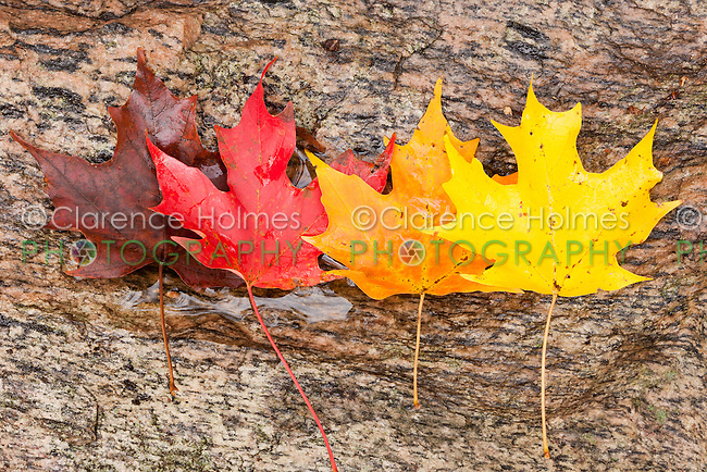 Autumn Red Maple leaves showing color variations