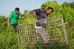 Fishing Cat (Prionailurus viverrinus) biologists, Maduranga Ranaweera and Anya Ratnayaka, carrying box trap used for collaring in urban wetland, Urban Fishing Cat Project, Diyasaru Park, Colombo, Sri Lanka