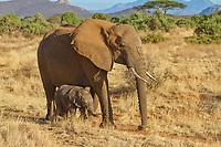 Elephants (Loxodonta africana), mother animal with calf, Samburu National Reserve, Kenya, Africa