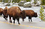Bison in the Road, Gibbon River, Yellowstone National Park, Wyoming