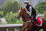 DEC 12,2015: Criterion ,trained by David Hayes,exercises in preparation for the Hong Kong Cup at Sha Tin in New Territories,Hong Kong. Kazushi Ishida/ESW/CSM
