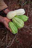 Récolte de chouchoutes en Nouvelle-Calédonie