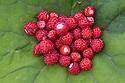 Wild Strawberry (Fragaria vesca) harvest, Julian Alps, Slovenia, July.