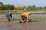 Ubud, Bali, Indonesia. Sowing rice.