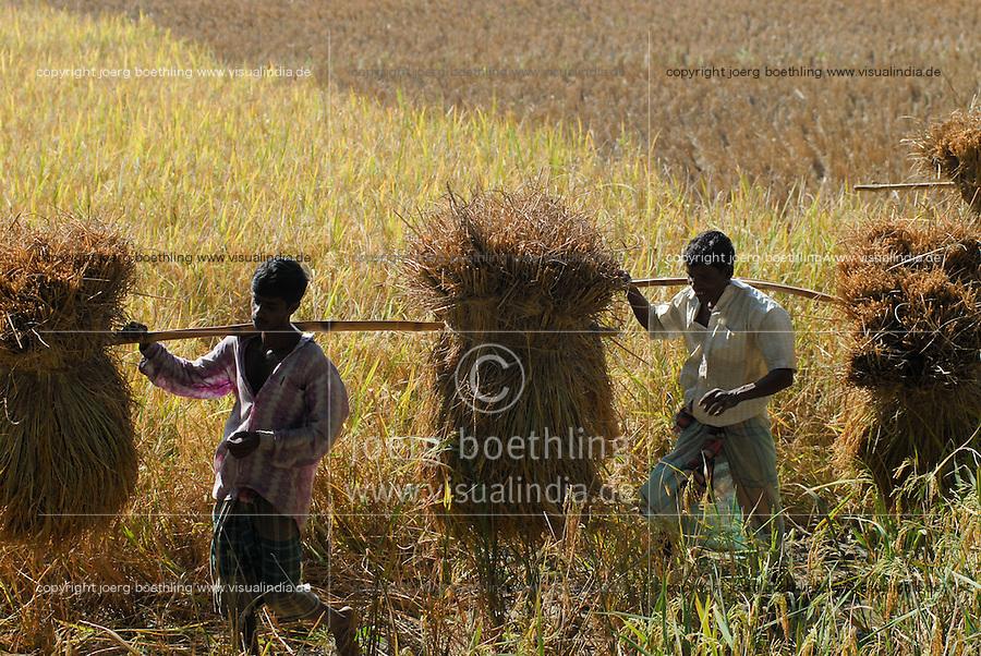 """Asien Suedasien Bangladesh , Anbau von Reis bei Bogra , Einbringen der Reisernte vom Reisfeld -  Landwirtschaft xagndaz   .South asia Bangladesh , paddy cultivation near Bogra , farmer carry the rice after harvest from rice field for trashing - agriculture .  [ copyright (c) Joerg Boethling / agenda , Veroeffentlichung nur gegen Honorar und Belegexemplar an / publication only with royalties and copy to:  agenda PG   Rothestr. 66   Germany D-22765 Hamburg   ph. ++49 40 391 907 14   e-mail: boethling@agenda-fototext.de   www.agenda-fototext.de   Bank: Hamburger Sparkasse  BLZ 200 505 50  Kto. 1281 120 178   IBAN: DE96 2005 0550 1281 1201 78   BIC: """"HASPDEHH"""" ,  WEITERE MOTIVE ZU DIESEM THEMA SIND VORHANDEN!! MORE PICTURES ON THIS SUBJECT AVAILABLE!!  ] [#0,26,121#]"""