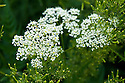 Cow parsley (Anthriscus sylvestris), mid June.