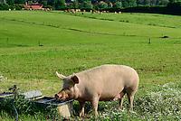 DEUTSCHLAND, , Versuchsgut Lindhof der UNI Kiel, Forschungsschwerpunkt ökologischer Landbau und extensive Landnutzungssysteme, Erforschung optimale Weidehaltung von Milchkuehen, z.Z. Jersey Kuehe, Vordergrund Hausschwein