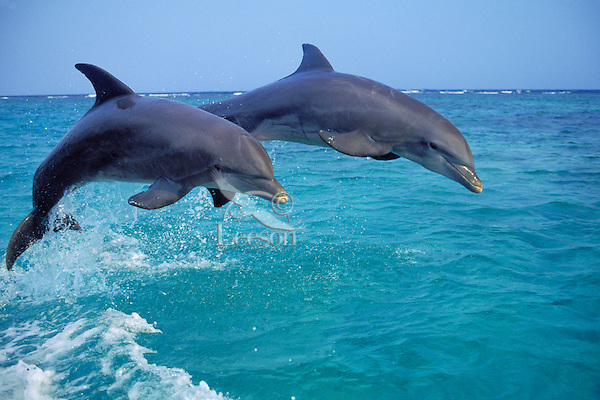 Bottle-nosed Dolphins jumping in Pacific Ocean off coast of Honduras.