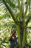 Brinquedos feitos de miriti para venda durante as comemorações do Círio de Nazaré.<br />O termo buriti é a designação comum das plantas dos gêneros Mauritia, Mauritiella, Trithrinax e Astrocaryum, da família das arecáceas (antigas palmáceas). Mais especificamente, o termo costuma se referir a Mauritia flexuosa (Mauritia vinifera Mart.), uma palmeira muito alta, nativa de Trinidad e Tobago e das Regiões Central e Norte da América do Sul, especialmente de Venezuela e Brasil. Neste país, predomina nos estados do Acre, Amapá, Roraima, Rondônia, Amazonas, Pará, Maranhão e Piauí, mas também encontra-se nos estados do Ceará, Bahia, Goiás, Tocantins, Minas Gerais, Mato Grosso, Mato Grosso do Sul, Rio de Janeiro, São Paulo e no Distrito Federal. É também conhecida como coqueiro-buriti, buritizeiro, miriti, muriti, muritim, muruti, palmeira-dos-brejos, carandá-guaçu e carandaí-guaçu.<br />Fonte: Wikipédia