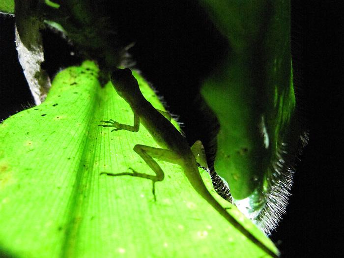 Geco sobre planta carnívora / Panamá.<br /> <br /> Edición de 5 | Víctor Santamaría.