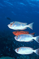 crescent-tail bigeye or moontail bullseye, Priacanthus hamrur, two color phases, Sipadan Island, off Borneo, Sabah, Malaysia (Celebes Sea)