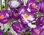 Vashon, WA<br /> Spring snow on purple blossoms of Dutch crocus (Crocus vernus ssp.)