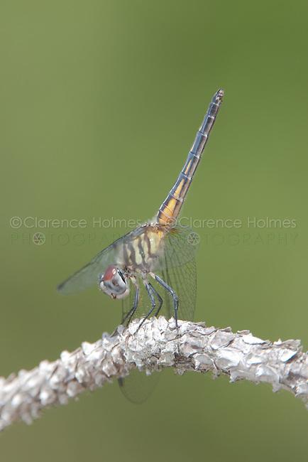 Blue Dasher (Pachydiplax longipennis)  Dragonfly - Female obelisking, Lake Kissimmee State Park, Lake Wales, Polk County, Florida