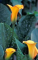 Calla Lilly in bloom in Raleigh, NC.