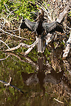 Ding Darling National Wildlife Refuge, Sanibel Island, Florida; an Anhinga (Anhinga anhinga) bird drying it's feathers in the sun, pearched on a branch at the edge of the mangroves, reflected in the shallow water below © Matthew Meier Photography, matthewmeierphoto.com All Rights Reserved