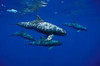 pygmy killer whales, Feresa attenuata, in open ocean off Kona Coast of Hawaii Island (the Big Island), Hawaiian Islands (Central Pacific Ocean)