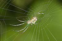 Orchard Orbweaver (Leucauge venusta) - Female, spinning its web, West Harrison, Westchester County, New York
