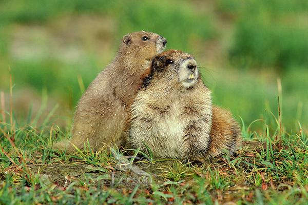 Olympic Marmots (Marmota olympus).  Olympic National Park, WA.  Summer.
