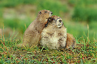 Olympic Marmots (Marmota olympus).  Olympic National Park, WA.  Summer.