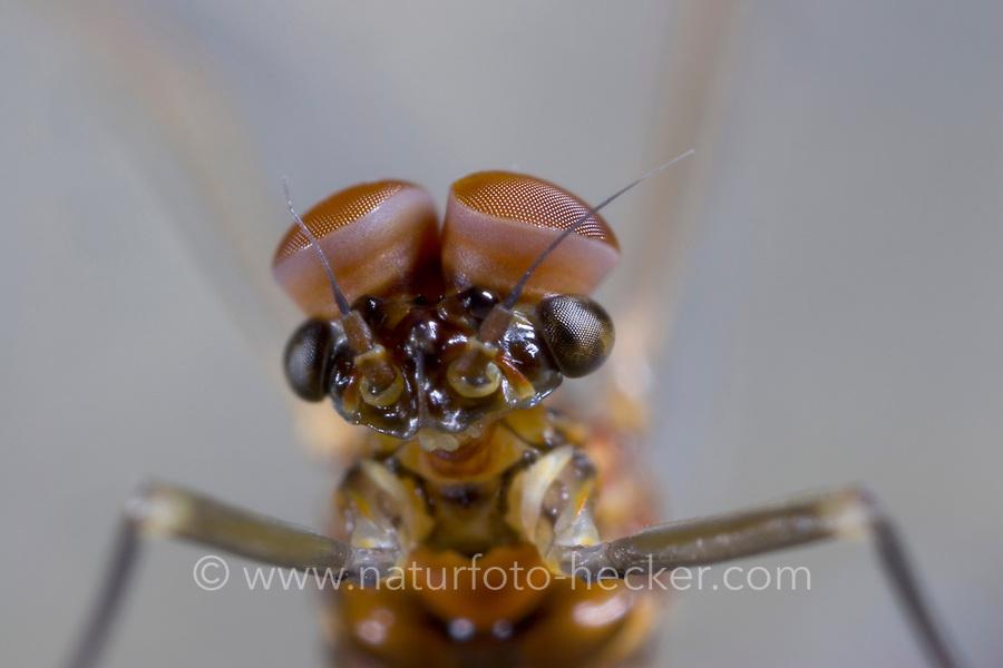 "Eintagsfliege, Männchen mit ""Turbanauge, Turbanaugen"", Baetis rhodani, Large Dark Olive Mayfly, male"