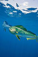 dorado, mahi mahi, or dolphin fish, Coryphaena hippurus, showing both silver /blue and golden yellow colormorphs, off Isla Mujeres, near Cancun, Yucatan Peninsula, Mexico (Caribbean Sea)