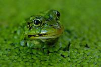 Groene kikker (Rana esculenta)
