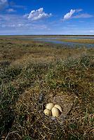 Greater White-fronted Goose nest and eggs. Colville River Delta, Alaska. June.