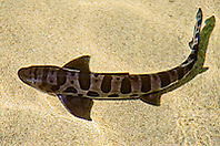 leopard shark, Triakis semifasciata, California, USA, East Pacific Ocean, captive