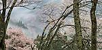Cherry trees (Prunus sp.) bloom on Yoshino Mountain, Nara, Japan<br /> LEICA S (Typ 006), Vario-Elmar 30-90 lens, f/19 for ¼ second, ISO 100