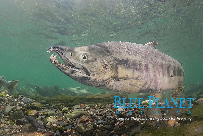 male chum salmon, dog salmon, silverbrite salmon, or keta salmon, Oncorhynchus keta, with kype (hooked jaw) and snaggly teeth, in spawning stream, Bear Trap, Port Gravina, Alaska (Prince William Sound)