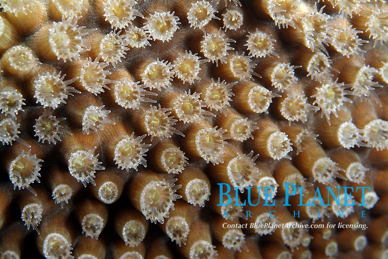 Details of soft coral with opened polyps. details of soft coral with opened polyps, flower garden banks sanctuary, Gulf of Mexico, off Texas, south, USA, United States