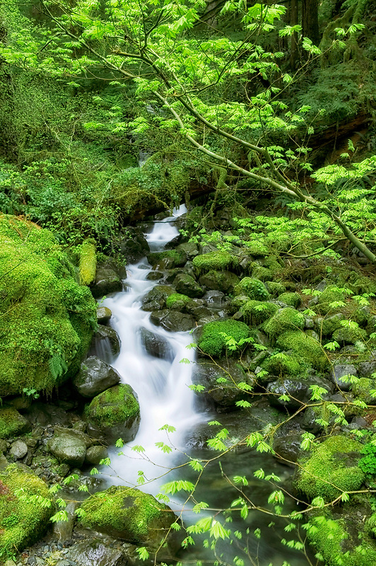 Small stream with early spring growth on vine maple trees. Willamette National Forest, Oregon