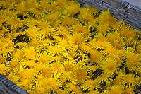 Löwenzahnblüten trocknen auf einem Tablett, getrocknete Blüten, Blüte, Löwenzahn-Blüten-Ernte, Kräuterernte, Wiesen-Löwenzahn, Gemeiner Löwenzahn, Löwenzahn, Kuhblume, Taraxacum officinale, Taraxacum sect. Ruderalia, Dandelion, Dent de lion