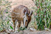 africa, Zambia, South Luangwa National Park,  Bushbuck