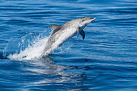 Atlantic Spotted Dolphin (Stenella frontalis) mature adult breaching high in the air. Azores, Atlantic Ocean