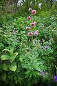Martagon lily / Turk's cap lily (Lilium martagon). Aosta Valley, Monte Rosa Massif, Pennine Alps, Italy. July.
