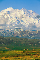 Caribou feed on the tundra under North America's highest mountain, summer, Denali National Park, Alaska