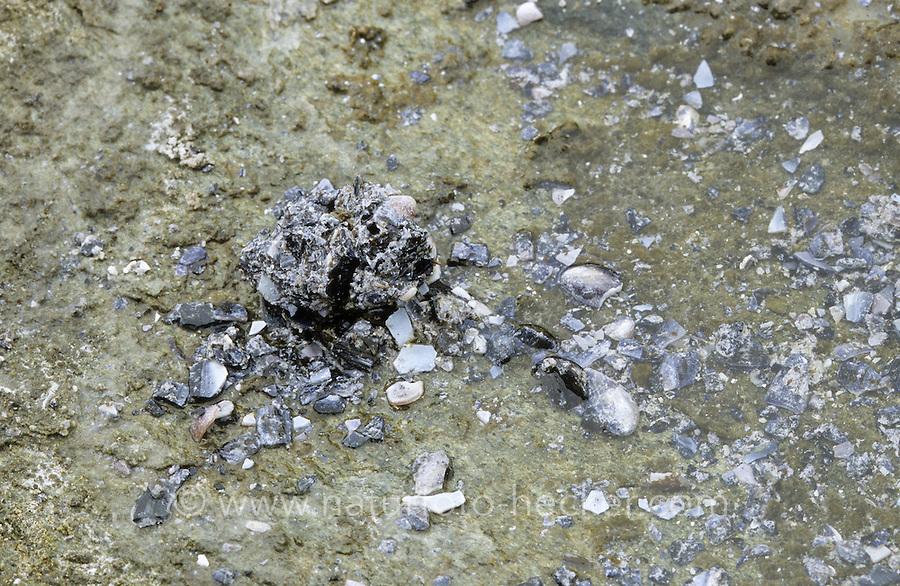 Möwengewölle, Gewölle, Speiballen einer Möwe am Strand mit Muschel- und Schnecken-Schalenreste