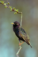 Star, Sturnus vulgaris, European starling