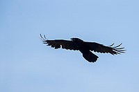 Common Raven (Corvus corax principalis) in flight over the Morris Canal, Jersey City, New Jersey.
