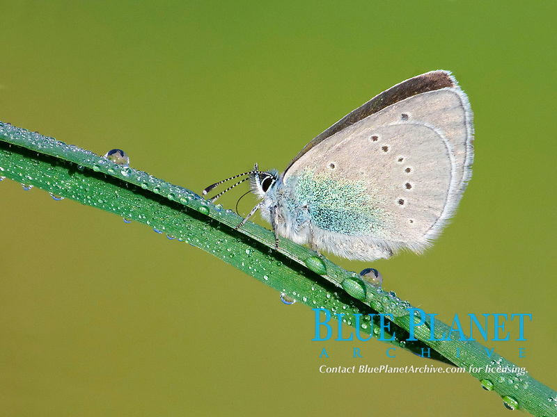 Green-underside Blue (Glaucopsyche alexis), adult female, resting on grass with early morning dew, Peloponnese, Southern Greece, Europe
