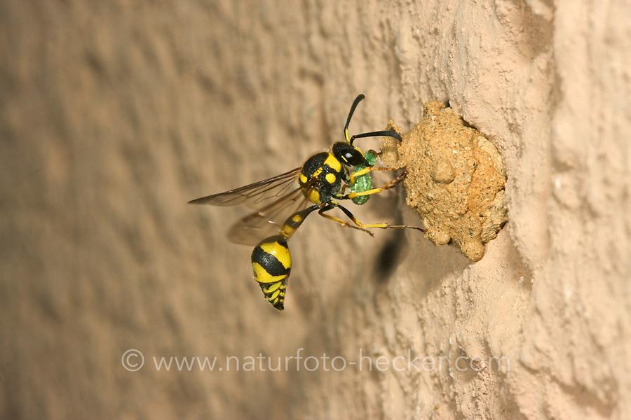 Pillenwespe, Lebensweise, Verhalten, Insektenlarve wird als Futter in das Nest eingetragen, Serie Nestbau, Nest aus Lehm, Brutzelle, Eumenes mediterraneus, Potter wasp, Pillenwespen, Lehmwespen, Töpferwespen, Töpferwespe, Solitäre Faltenwespen, Eumenidae, Potter wasps, mason wasps
