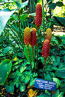 Cluster of honeycomb ginger growing at the Hawaii tropical botanical gardens