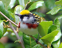 Male chestnut-sided warbler in breeding plumage