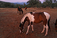 "Striking colors of a blue-eyed paint.<br /> <br /> Dianne Nelson has saved mustangs on a ranch in northern California.  ""It was in 1978 that the Wild Horse Sanctuary founders rounded up almost 300 wild horses for the Forest Service in Modoc County, California. Of those 300, 80 were found to be un-adoptable and were scheduled to be destroyed at a government holding facility near Tule Lake, California. <br /> <br /> The Sanctuary is located near Shingletown, California on 5,000 acres of lush lava rock-strewn mountain meadow and forest land. Black Butte is to the west and towering Mt. Lassen is to the east. <br /> Their goals:<br /> Increase public awareness of the genetic, biological, and social value of America's wild horses through pack trips on the sanctuary, publications, mass media, and public outreach programs.<br /> Continue to develop a working, replicable model for the proper and responsible management of wild horses in their natural habitat.<br /> Demonstrate that wild horses can co-exist on the open range in ecological balance with many diverse species of wildlife, including black bear, bobcat, mountain lion, wild turkeys, badger, and gray fox.<br /> Collaborate with research projects in order to document the intricate and unique social structure, biology, reversible fertility control, and native intelligence of the wild horse."