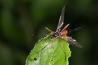 Schwarze Kammschnake, Holzschnake, Weibchen, Tanyptera atrata, giant sabre comb horn cranefly, female, La Tanyptère noire, Schnake, Schnaken, Tipulidae, craneflies