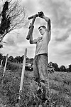 A man putting up tomato stakes at an organic farm in New York State